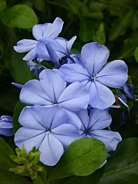 ルリマツリは大好きなブルーが長く楽しめます!