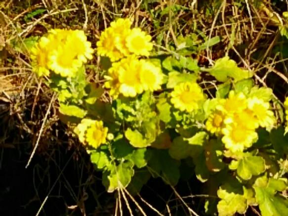 菊の花二色