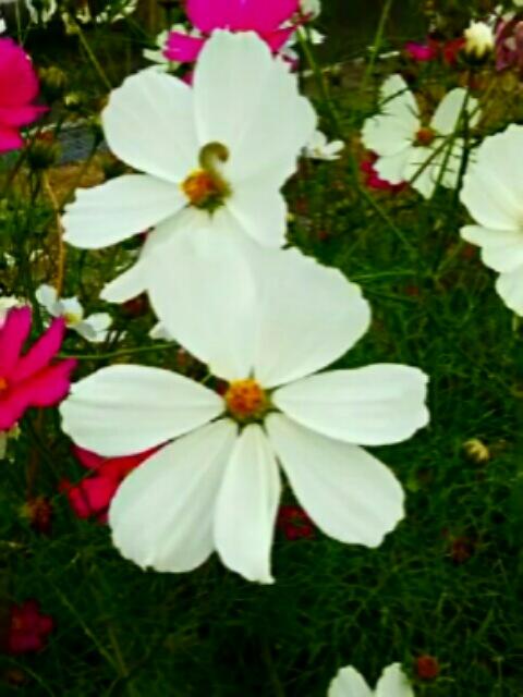 コスモス(秋桜)も色とりどり