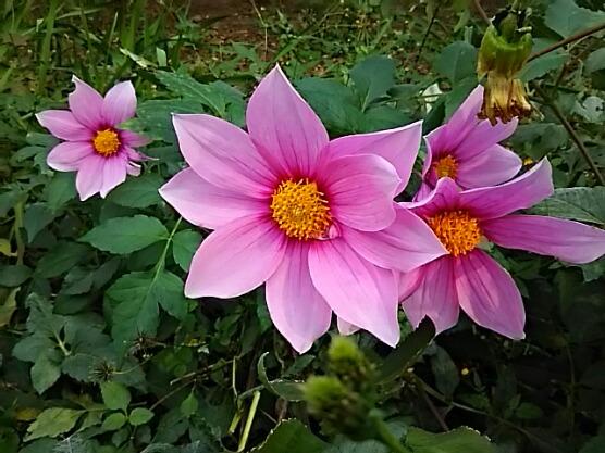 皇帝ダリア ハイブリッド「ガッツァリアピンク」は背の低い園芸種です!