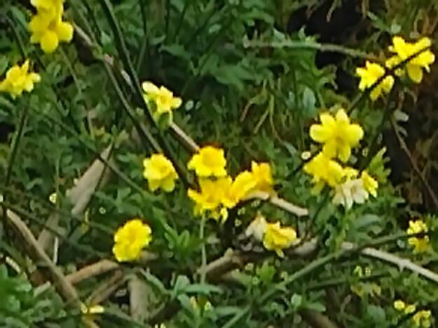 この時期に咲いていたウンナンオウバイ(雲南黄梅)