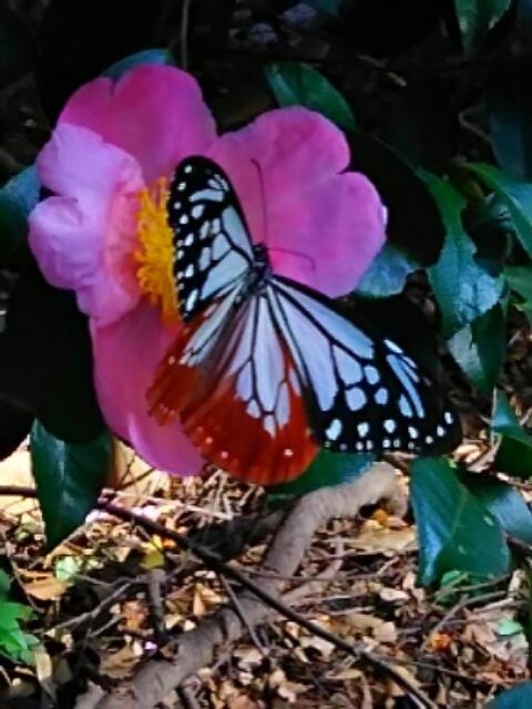 秋の蝶とサザンカ(山茶花)を色々