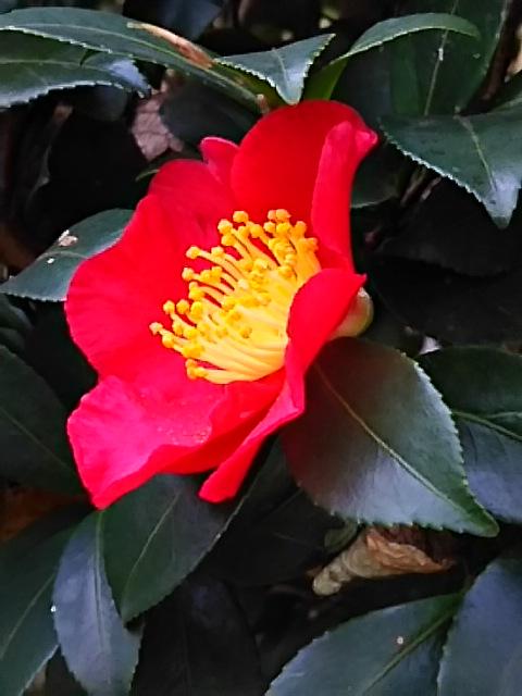まるで椿のような緋色のサザンカ(山茶花)