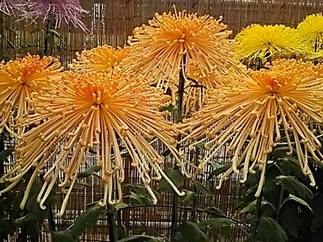 今夜は菊花展で見た見事な花たちを!!