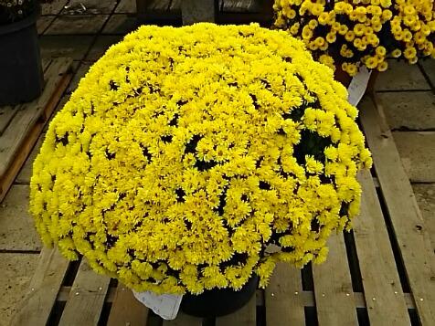菊花展のキクの花(まぁるい形に造られています)