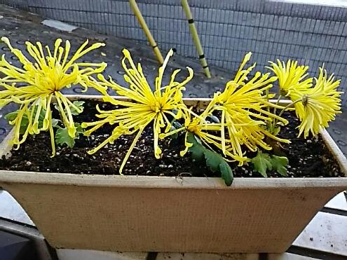 我が家で今咲く菊(キク)の花