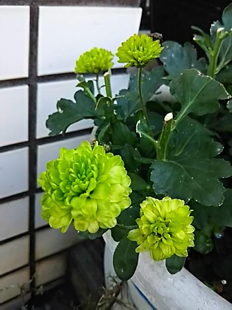 脇芽から咲いたのはこんな花(キク)