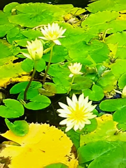 温室の中ならでわの花「スイレン」(睡蓮)