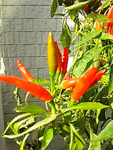 我が家のミニ家庭菜園もこれが収穫納めです!
