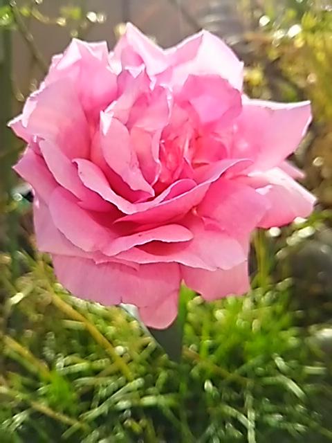 一枝だけ最後まで咲いていた我が家のバラもそろそろ終演の装いです!