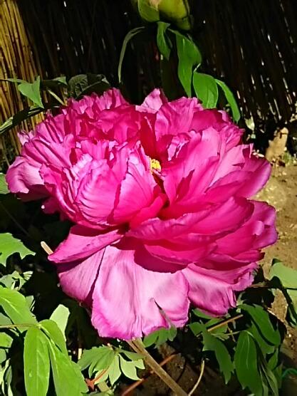 さあ、鎌倉鶴岡八幡宮の神苑ぼたん庭園の冬ぼたんを少しずつ・・・♪