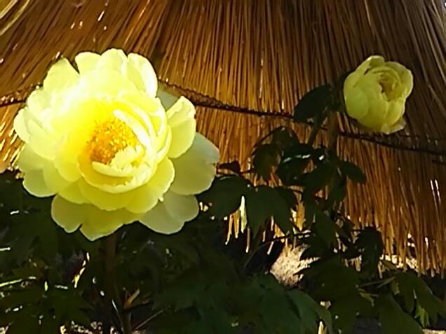 素敵な色で鮮やかな花(正月牡丹)