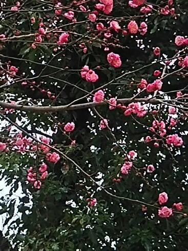 紅梅が咲き始めていました!