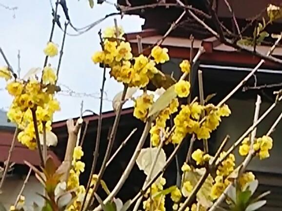 ロウバイ(蝋梅)の黄色いはなが可愛い!