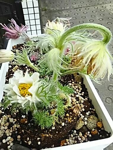 たぶん、西洋オキナグサと言うお花だと思います!