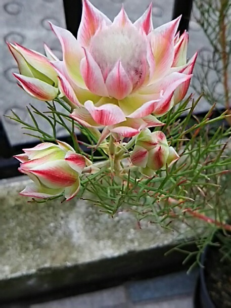今朝のお花はセルリア プリティ ン ピンク(Serruria Pretty n Pink)というちょっと珍しいお花です!