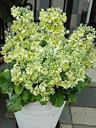 今朝のお花は西洋サクラソウ(プリムラ・マラコイデス)