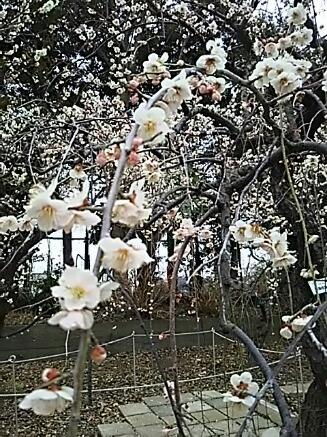 今朝はしっとり梅の花を二種類です!