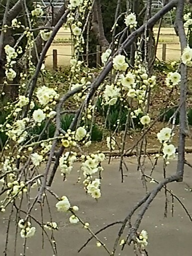 今夜も梅の花
