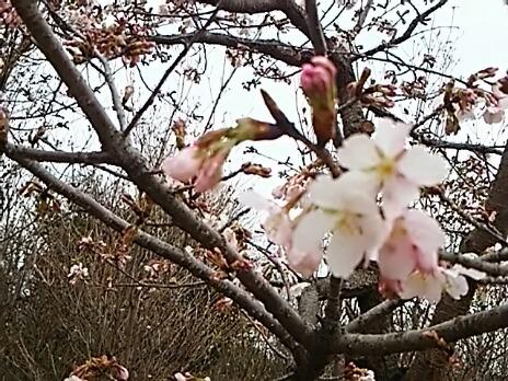 大船フラワーセンターの「玉縄桜(タマナワザクラ)」が咲き始めていました!今日、明日の夜にはライトアップも!!