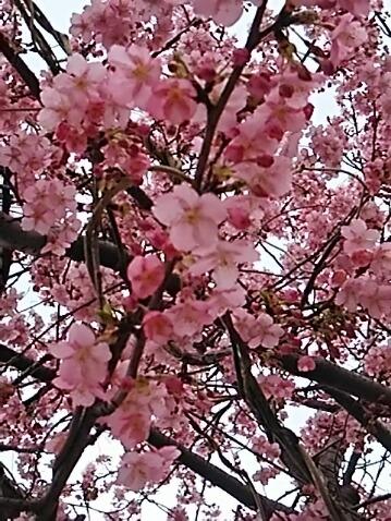 今日は桃の節句(雛祭り)ですが桃の代わりに河津桜の花を!!