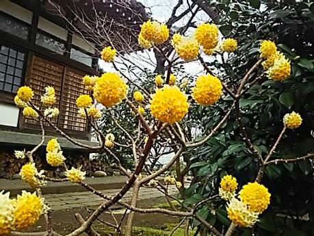 ミツマタ(三椏、三つ叉)の花