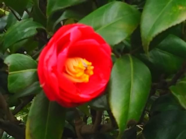 ツバキ(椿)の花色々♪