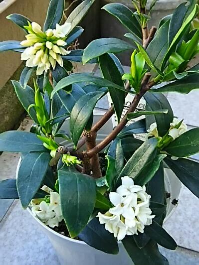 ジンチョウゲ(沈丁花)の花(赤色、白色)