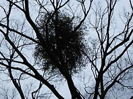 ヤドリギ(宿り木、寄生木)って知ってますか?