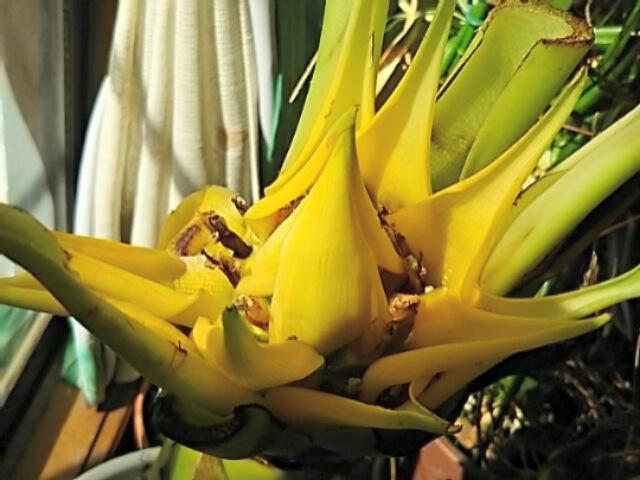 やった~!地涌金蓮(チュウキンレン、チャイニーズイエローバナナ)の花が咲き始めました~♪