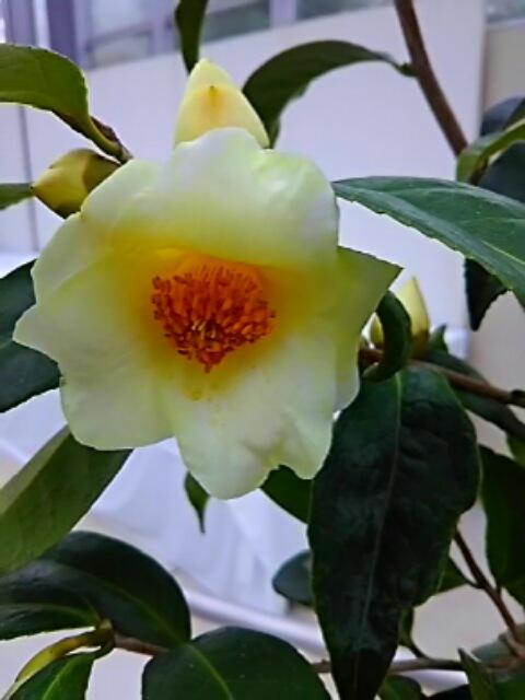 キンカチャ(金華茶)と、その交配種の黄色いツバキ(椿)