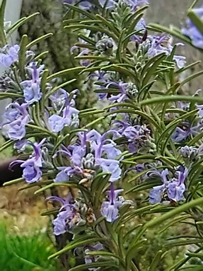直さん(高橋直純)が「ネオロマンス❤ダンディズム2」に出演します!そしてお花はローズマリーです♪