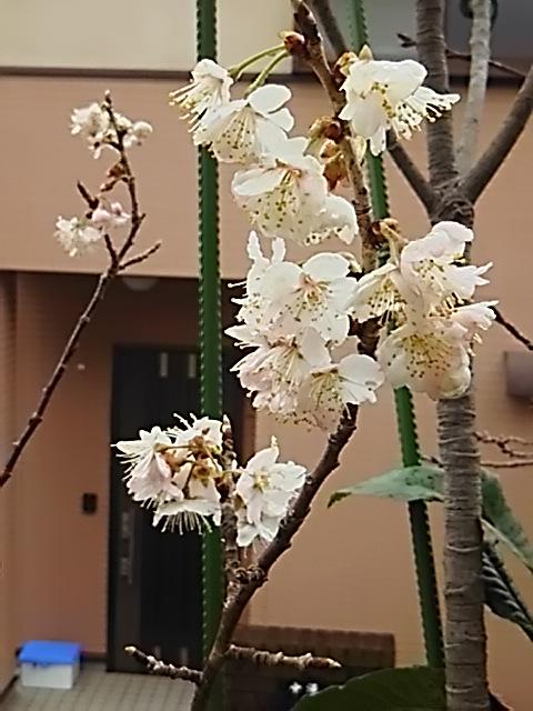 これも立派な桜の花